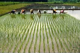 indonesias-grain-crop