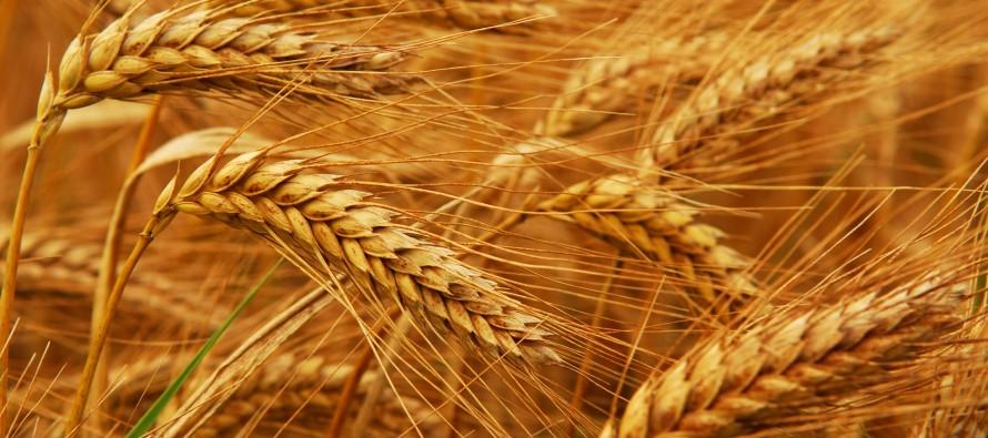 wheat-890x395_c
