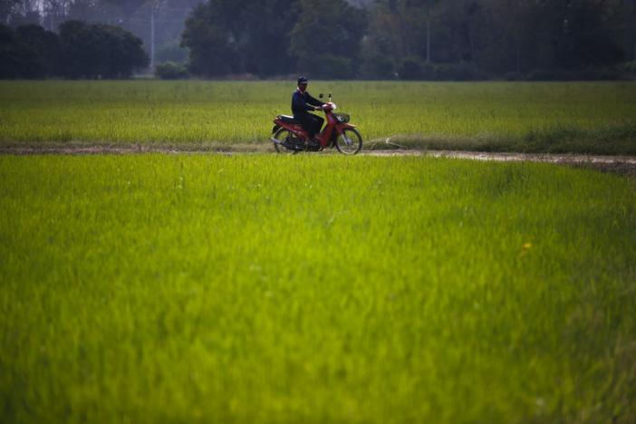 Somnuek Hongthong, 67, rides his motorbike pass a rice field in Sing Buri Province, Thailand, February 1, 2016. REUTERS/Athit Perawongmetha