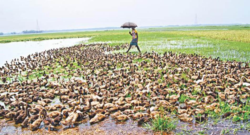 duck_farming